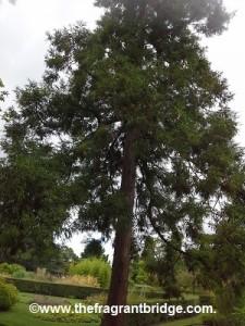Sugi - Japanese cedar
