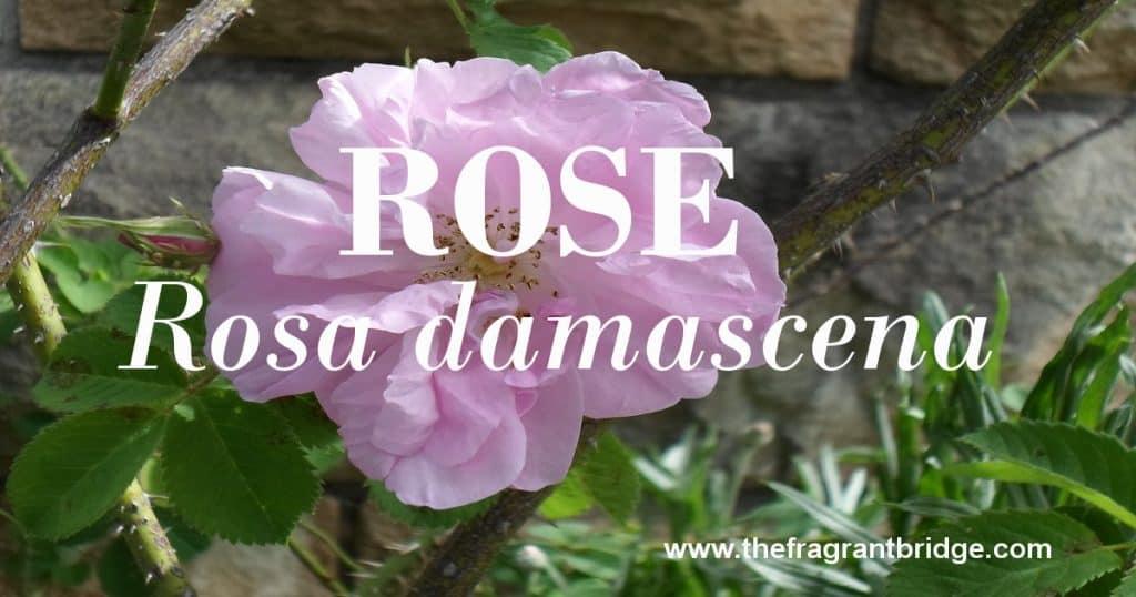 Rose header