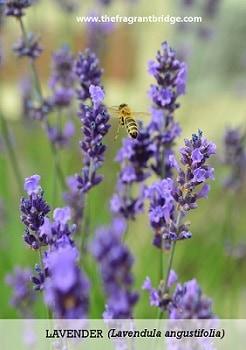 Lavender contemplation