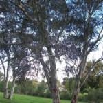 eucalyptus-trees