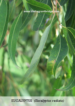 Eucalyptus Contemplations for the Soul card