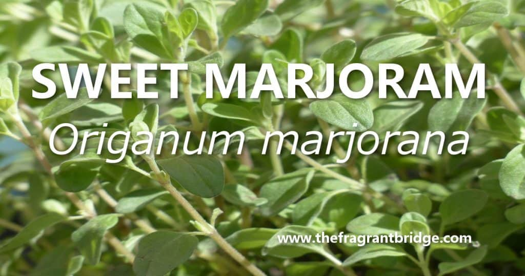 Sweet marjoram header