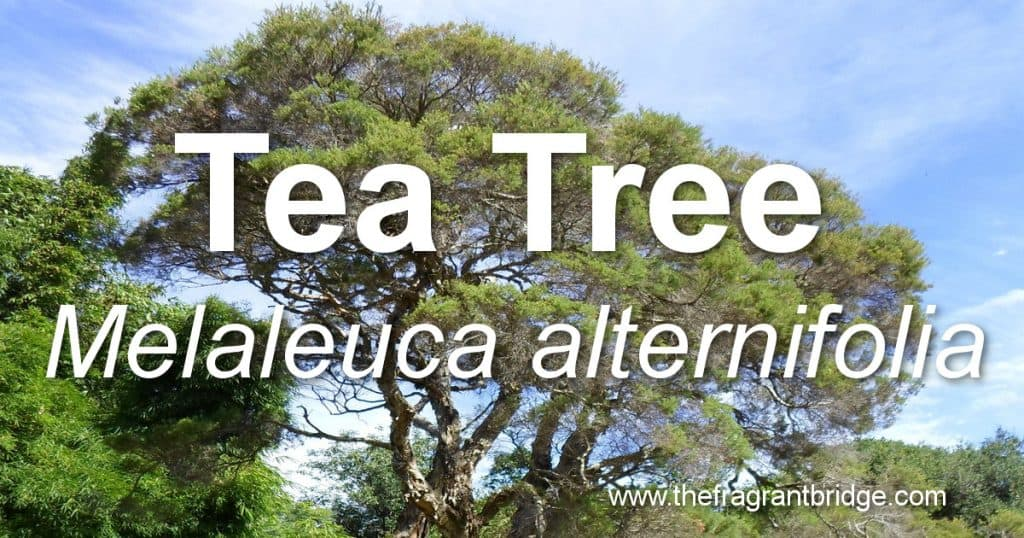 tea tree header