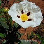 Cistus (Cistus ladaniferus)