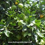 Grapefruit tree and fruit
