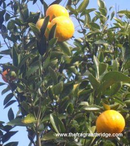 Mandarins 22