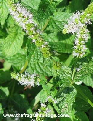 spearmint-leaves-and-flowers