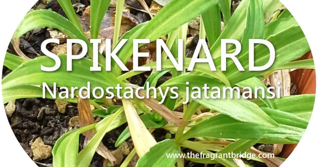 Spikenard header