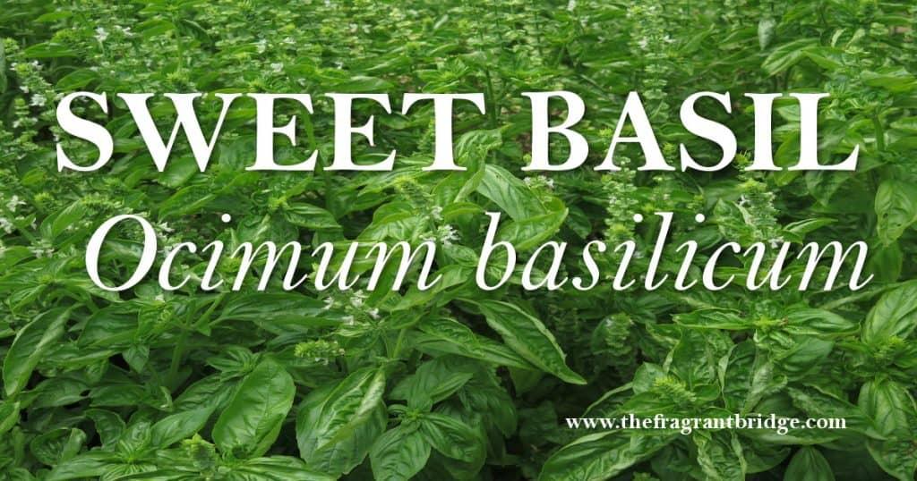Sweet basil header