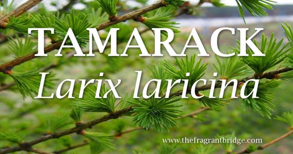 Tamarack header