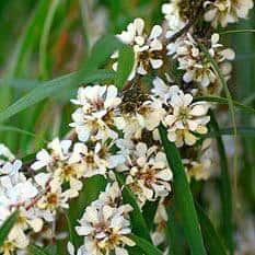 fragonia flowers