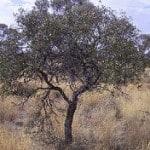 Australian sandalwood
