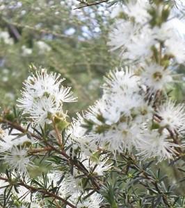 Kunzea flowers 4