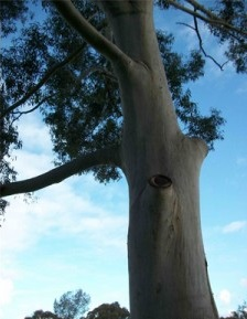eucalyptus-bark