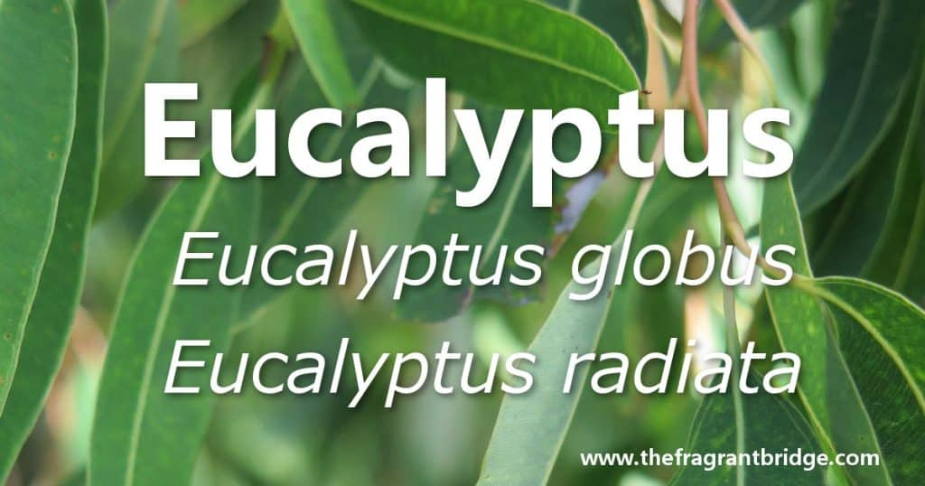 Eucalyptus header