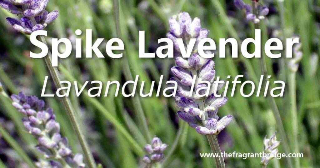Spike lavender header