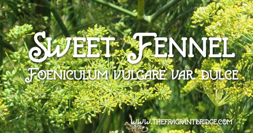 Sweet fennel header