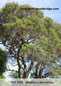 Tea tree FCHC