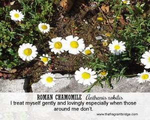 Roman chamomile FCHC