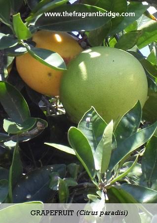Grapefruit CFTS card