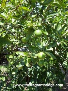 lime tree and fruit