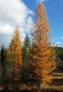 tamarack-trees-in-autumn Pinaceae family