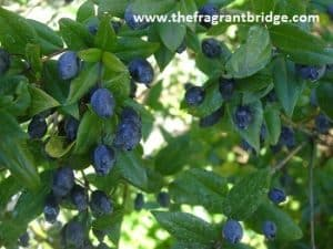 Blue_myrtle_berries