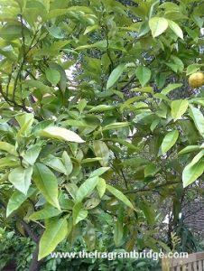 Petitgrain tree