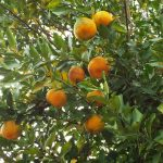 bergamot tree and fruit