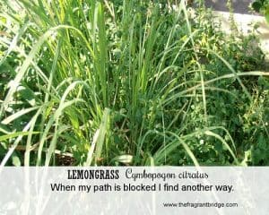 Lemongrass FCHC