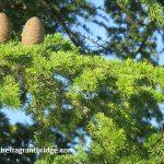 Cedarwood cones