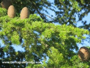 Cedarwood - Pinaceae family