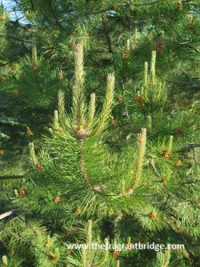 Scots pine Pinaceae family