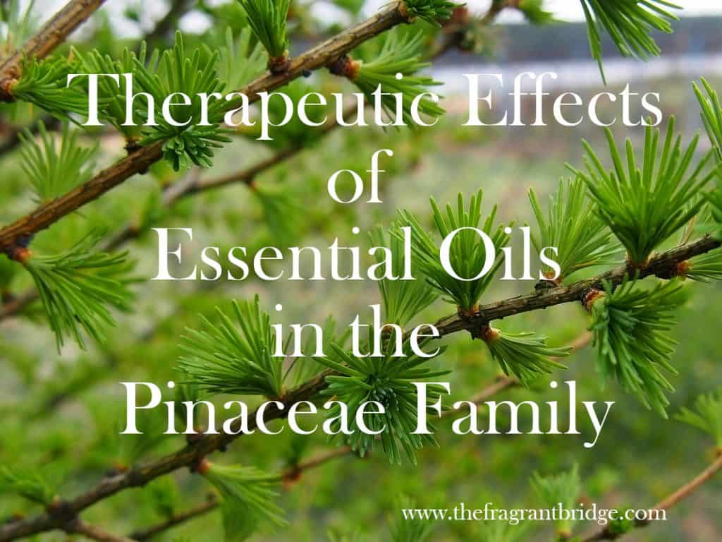 Therapeutic Effects of Essential Oils in the Pinaceae Family