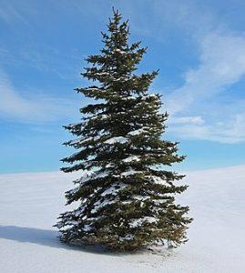White_Spruce,_Brampton,_Ontario_(5322599282)