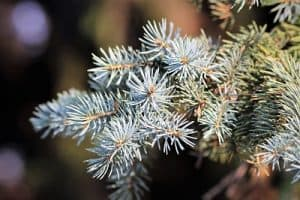 silver-fir-tree Pinaceae family