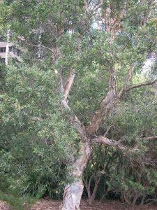 Melaleuca quinuenervia tree