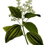 Cinnamon flowers